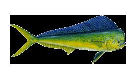 fish of Tamarindo mahi-mahi