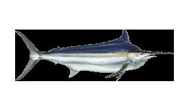fish of Tamarindo black marlin