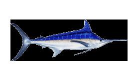 fish of Tamarindo blue marlin