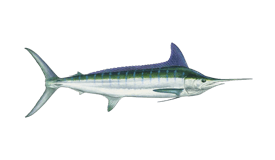 fish of Tamarindo striped marlin