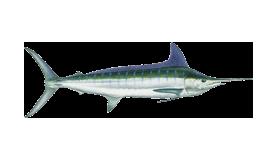 marlin-striped