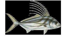 fish of Tamarindo roosterfish