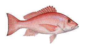 fish of Tamarindo snapper