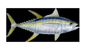 tuna-yellowfin
